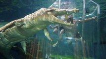 活腻了?游客花800块把自己关在笼子里,与鳄鱼360度无死角接触!