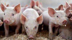 猪 你是猪么
