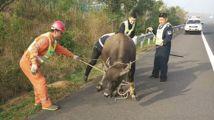 高速闯入澳洲牛,交警变身斗牛士