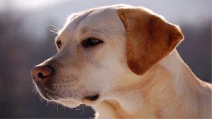 世界犬类智商排名前十,你家狗狗上榜了吗?