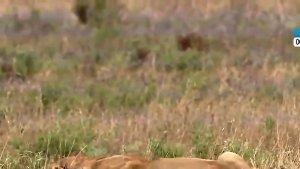 实拍逃脱的牛妈妈为救孩子掉头冲向狮群,结果双双被捕食