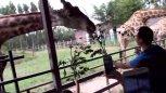 动物园里10块钱买根破树枝喂长颈鹿值不值?