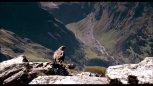 实拍:老鹰第一次捕杀山羊,差点丧命。