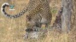 实拍花豹吃掉自己幼崽罕见画面
