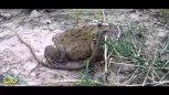 实拍:青蛙草坪中吃蛇,一动不动。