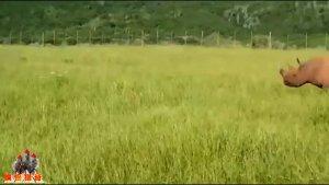 实拍南非黑犀牛白犀牛为争领地大打出手
