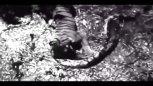 实拍:老虎想吃巨蟒不成,不料反被巨蟒活吞