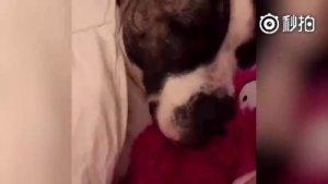 狗子睡觉打呼噜 旁边的喵星人一脸懵逼