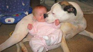 萌宝与比特犬的日常