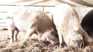 """话说,从前有一头猪和一只羊,一言不合,变成了""""羊毛猪""""。就问还有谁,能认得出,这是猪,还是羊?"""