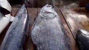 实拍印度鱼市现场宰杀80斤黑鲈鱼,顾客络绎不绝