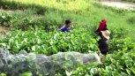 实拍:农村水葫芦下面抓鱼