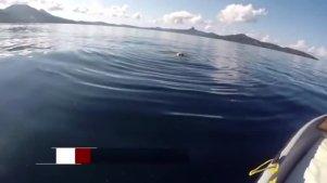 实拍 印度洋上演鲨鱼吞食牛残忍场面